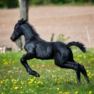 cheval noir qui court dans l'herbe
