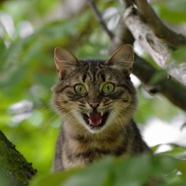 Chat qui ouvre sa bouche