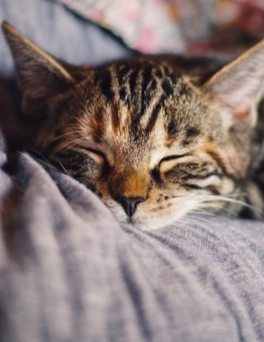 Portrait de chat qui dort