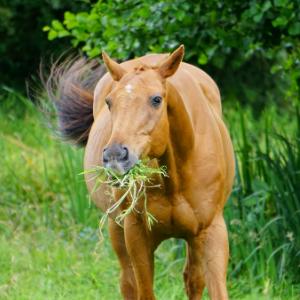 Cheval qui mange de l'herbe