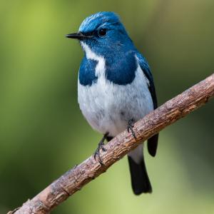 Oiseau blanc et bleu sur une branche