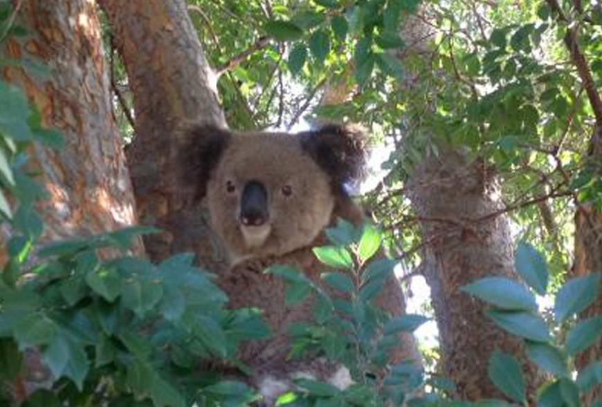 Aidons les Koalas