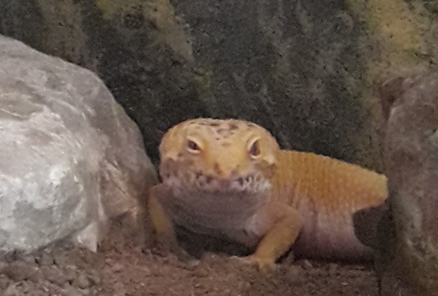 Vladimir notre Gecko Leopard